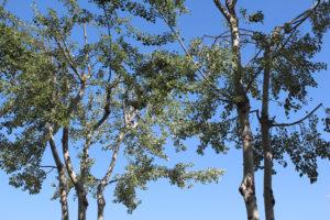 Kavak Ağaçları Budandı