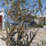 84 zeytin ağacı toprakla buluştu